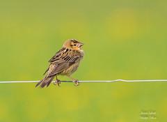 Bobolink (Jamie Lenh Photography) Tags: nature wildlife birds bobolink spring ontario canada nikon tamron