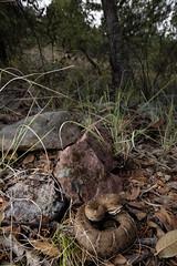 Arizona Ridge-nosed Rattlesnake (Evan Arambul) Tags: crotalus willardi arizona ridgenosed rattlesnake rattlesnakes