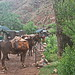Phantom Ranch - early morning mustering the mules - Grand Canyon
