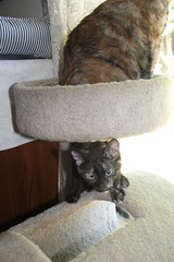 IMG_14049 (mudsharkalex) Tags: california tracy tracyca cat cats kitty kitties kitten kittens gato pepa cali