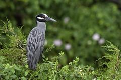 Standing out in the Crowd (martytdx) Tags: heron birds adult birding nj breeding oceancity rookery ardeidae nightheron yellowcrownednightheron nyctanassaviolacea nyctanassa wadingbird oceancitywelcomecenter