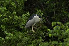 Sad Heron is Sad (martytdx) Tags: oceancity nj birding birds oceancitywelcomecenter wadingbird heron nightheron blackcrownednightheron nycticoraxnycticorax nycticorax ardeidae adult