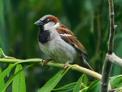 Male House Sparrow (starmist1) Tags: sparrow housesparrow perch limb branch twig weepingwillow tree willow july summer warm partlycloudy