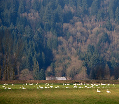 TRUMPETER SWANS GRAZING ON THE WINTER FIELDS OF THE FRASER VALLEY,  BC.  THIS IS HATZIC LAKE PRAIRIE AND THE FARMLAND GOES RIGHT TO THR MOUNTAINS EDGE. QUITE DYNAMIC...NEAR MISSION,  BC. (vermillion$baby) Tags: fraservalley missionarea nicomenslew trumpeterswans agriculture barn bc color di farm field green landscape pasture vista