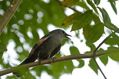 Gray Catbird (Green Lane Park) (stinkenroboter) Tags: graycatbird dumetellacarolinensis greenlanepark bird