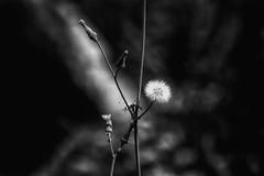 """Dandelion"" (rdwaters) Tags: columbiasc riverfrontpark broadrivertrail dandelion bw tamronsp70300mmf456 77d eos canon"