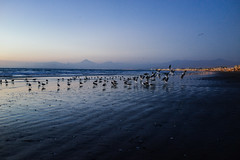 taking flight (M///S///H) Tags: 35mm ps rx1 afternoonlight beach birbs birds chile coquimbo dusk eclipseday july22019 july2nd2019 laserena mountains pointandshoot sealife sony sonyrx1 sunset twilight
