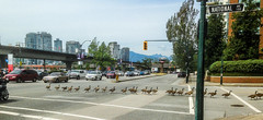 2019 - Vancouver - Goose Stepping on National (Ted's photos - For Me & You) Tags: 2019 bc britishcolumbia canada cropped tedmcgrath tedsphotos vancouver vancouverbc vancouvercity vignetting goosestepping geese streetscene street birds cityofvancouver wideangle widescreen iphone5 skytrain crosswalk