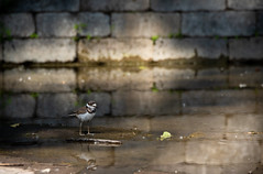 Just a Small Town Bird.... living in a Lonely world (NicoleW0000) Tags: killdeer chick bricks concrete water urbannature nature wildlife photography shorebird bird