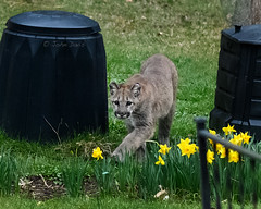 backyard visitor 20190327_0669 (GORGEous nature) Tags: mountainlion pumaconcolor skamaniaco spring stevenson vertebrates washington mammal march ©johndavis