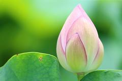 Lotus bud (Teruhide Tomori) Tags: lotus summer kyoto nature flower toji japan japon 蓮 花 日本 東寺 夏 水生植物