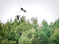 Grey Herons (Mikael Neiberg) Tags: greyheron birdphotography finnishnature wildlife nature landscape animals birds flyingbird panningshot nikond700 sigma150600mmf563dgoshsms