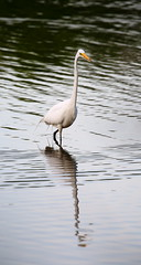 great egret at inwood hill park 3 (madeofchalk) Tags: egret greategret birdphotography birds inwoodhillpark wildlifephotography canon canon6d canonphotography