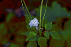 Cotton Bud! (maginoz1) Tags: flower rose tomthumb cotton abstract art winter july 2019 manipulate curves bulla melbourne victoria australia alisterclarkmemorialrosegarden canon eos r