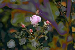 Winter Pinks (maginoz1) Tags: flower rose tomthumb cotton abstract art winter july 2019 manipulate curves bulla melbourne victoria australia alisterclarkmemorialrosegarden canon eos r artdigital