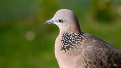 la tourterelle de la maison (pepernc) Tags: nouvellecalédonie nature oiseaux tourterelle ncl nouméa
