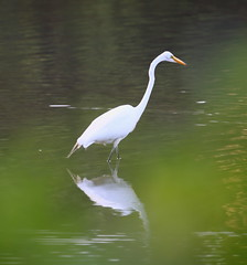 great egret at inwood hill park (madeofchalk) Tags: egret greategret birdphotography birds inwoodhillpark wildlifephotography canon canon6d canonphotography