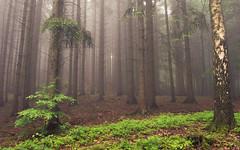 Foggy Green (Netsrak) Tags: baum bäume eu europa europe landschaft natur nebel wald fog landscape mist nature tree trees woods rheinbach nordrheinwestfalen deutschland