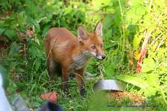 Feeding Time..... (law_keven) Tags: urbanredfoxcub foxes urbanredfox catford london uk wildlife wildlifephotography photography redfox animals animalphotography fox cubs foxcub