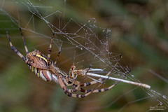 5C9A6546 (gerardtempo) Tags: insectes araignées libellules toile nature macro canon 100mm