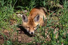 Siesta in der Mittagssonne (kittimat62) Tags: fuchs spreewald wald wood forest vulpesvulpes wildhund fox canon eos60d natur nature