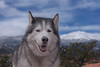 Timber (Cruzin Canines Photography) Tags: dog pet pets dogs nature animal animals canon outside outdoors husky colorado timber gardenofthegods naturallight canine huskies siberianhusky coloradosprings naturepreserve alaskanhusky 5ds canon5ds eos5ds canoneos5ds