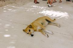 Island Doggo (Taomeister) Tags: nikoncoolpixa bavaropuntacana dominicanrepublic