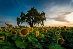 Sunflowers & Oak (ernogy) Tags: sunflowers sunflower california farm yellow sunset ernogy sacramento woodland davis oak oaktree landscape wideangle canon sony nikon