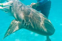 Dances with Nurse Sharks (Taomeister) Tags: ektar100 nikonosv wnikkor35mmf25 kodakektar100 bavaropuntacana dominicanrepublic