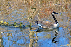 Psychedelic Geese (marylee.agnew) Tags: birds canada goose goslings young colors reflections spring water nature mother wildlife outdoor