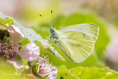 Green-veined White 502_0281.jpg (Mobile Lynn) Tags: wildfowl birds insects swan muteswan butterfly nature anseriformes bird cygnusolor fauna insect wildlife estuaries freshwater lagoons lakes marshes ponds waterfowl webbedfeet norwich england unitedkingdom