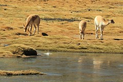 Vicuna grazing in a high-altitude Andean bog. (Ruby 2417) Tags: vicuna animal wildlife nature grazing peat bog wetlands peatlands andes atacama muchado