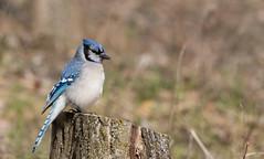 Geai bleu // Blue Jay (Alexandre Légaré) Tags: geai bleu blue jay cyanocitta cristata oiseau bird avian animal wildlife nature nikon d7500 quebec canada
