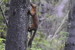 American Pine Marten (Christopher Lindsey) Tags: mtadams pinemartin washington mammal skamaniacounty