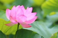 Lotus (Teruhide Tomori) Tags: lotus summer kyoto nature flower toji japan japon 蓮 花 日本 東寺 夏 水生植物