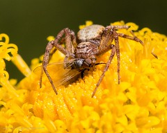 The spider and the fly (kimbenson45) Tags: arachnid brown closeup differentialfocus eyes flowers fly insect macro nature outdoors plant predator prey shallowdepthoffield spider wildlife yellow