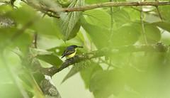 Common Tody-Flycatcher (Todirostrum cinereum) with horsefly (pbertner) Tags: rainforest southamerica colombia choco cloudforest bird horsefly pacificcoastalrainforest donadora