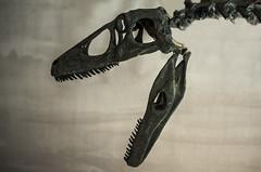 8SC_5361 (viki.dilova) Tags: dinosaur scull bones old instinct jurasicpark teeth nikonlovers nikonphotography nikond7000 nikonserbia