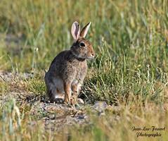 Lapin de garenne ( Oryctolagus cuniculus) (jean-lucfoucret) Tags: lapin nature bokeh champs nikond500 nikon d500 nikkor200500f56 nikkor 200500f56 mammifère lapindegarenne animal gibier rabbit kaninchen conejo