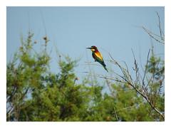 Merops apiaster (M.L Photographie) Tags: nature animal bird oiseau wildlife wildlifephotography france corse corsica merops guêpier beeeater nikon coolpix p900