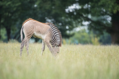 A Careless Graze! (bp-122) Tags: zebra young graze ground level low angle foreground bokeh focus wildlife wild composition green sustenance headdown