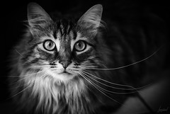 Dans ses yeux. (LACPIXEL) Tags: amyff amy chat cat gato pet animal mascota portrait retrato a7rm3 sony noiretblanc blancoynegro blackwhite moustache lumièrenaturelle naturallight luznatural yeux eyes ojos flickr lacpixel