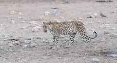 An elusive Queen! (Jambo53 ()) Tags: luipaard kgalagadi crobertkok leopard