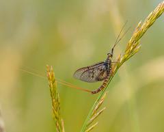 Common Mayfly. (pecky2013) Tags: commonmayfly speciesephemeradanica derbyshire ponds goytvalley