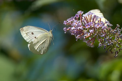 (2/2) Butterfly in flight : 100% cropped view (Franck Zumella) Tags: butterfly papillon whute blanc fly flying voler nature insect insecte flower fleur fast rapide colors couleurscolor couleur macro detail details animal wildlife
