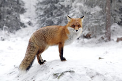 2019.07.05 (szverev73) Tags: fox vixen bitchfox vulpe winter snow cold red animal white wildlife mammal fur nature wild canine predator carnivore background scene one outdoor closeup rabies trees wood forest park hightatras mountains slovakia easteurope european hugry country