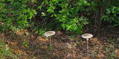 Parasols (balese13) Tags: 100nikon 1855mm aquitaine d5000 gironde graves nikonpassion yourbestoftoday balese champignon feuille green mushroom nikon vert 250v10f 500v20f 1000v40f 1500v60f