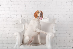White with red English pointer dog in photo Studio (SonyaDudova) Tags: englishpointer pointer animal canine dog gundog huntingdog pet retriever studio white whitedog