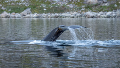 Whale fin (802701) Tags: 2019 201906 43 em1 em1markii em1mkii greenland grønland june june2019 kalaallitnunaat kommunekujalleq kujalleq mft micro43 nanortalik nennortalik northamerica omd omdem1 olympus olympusomdem1 olympusomdem1mkii tasermiutfjord animal animals aquatic fourthirds island mammal microfourthirds mirrorless photography seacreature sealife travel travelling underwater whale whales wildlife