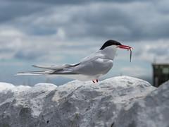 Arctic Tern with sand eel (alanrharris53) Tags: arctic tern sandeel bird aves farne islands
